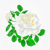 White Rose with buds and leaves vintage hand draw  Festive background vector. Illustration Royalty Free Stock Image