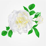 White Rose with buds and leaves vintage vector Stock Photography
