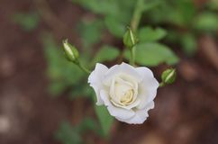 White rose and buds Stock Photo