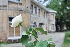 White rose  and building which has destroyed war in Donetsk Stock Images