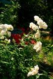 White Rose bush background Stock Images
