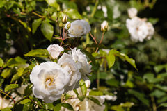 White rose bush Royalty Free Stock Photos