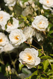 White rose bush in bloom Royalty Free Stock Photography