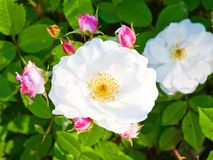 White rose bush Stock Image