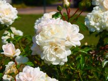 White rose bush close up. Beautiful white rose bush close up stock images