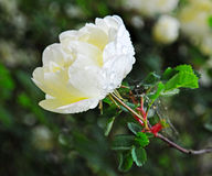 White rose bush drops Royalty Free Stock Photography