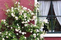 White rose bush in flower. Against red painted facade of a house Royalty Free Stock Photography