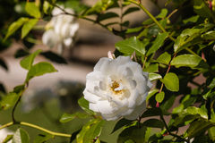 White rose bush with flowers Stock Images