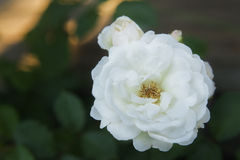 White rose bush Royalty Free Stock Images