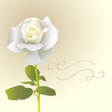 White Rose Card Royalty Free Stock Images