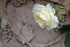 White rose in classic vase. Beautiful white rose in wonderful classic vase in garden Stock Photos