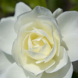 White rose close-up Royalty Free Stock Photos