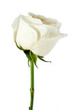 White rose close-up Royalty Free Stock Photo