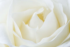 White rose. Close up of white rose Stock Photography