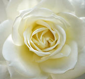 White rose, Close up. As background Stock Photos