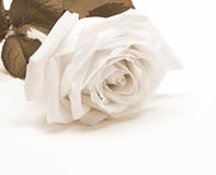 White rose close-up as background. In Sepia toned. Retro style Stock Photo
