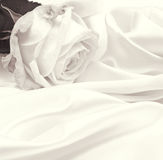 White rose close-up as background. In Sepia toned. Retro style Stock Photography