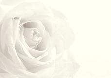 White rose close-up as background. Soft focus. In Sepia toned. R Stock Photo