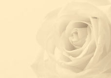 White rose close up as background. Soft focus. In Sepia toned. R Royalty Free Stock Photo