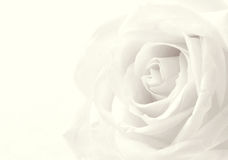 White rose close-up as background. Soft focus. In Sepia toned. R Royalty Free Stock Image