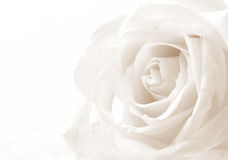 White rose close-up as background. Soft focus. In Sepia toned. R Royalty Free Stock Photo