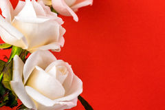 White rose close-up can use as background. Soft focus. Royalty Free Stock Photo