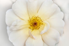 White rose close-up Stock Photography