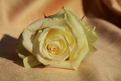 white rose, close up Stock Photography
