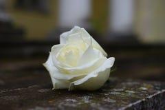 White rose on granite stock images