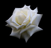 White rose close up  Royalty Free Stock Photos
