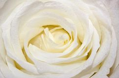 White Rose Close-Up Royalty Free Stock Photography