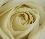 White Rose in close-up, Rosa rosa. Rosa, the White rose in a close-up stock photos