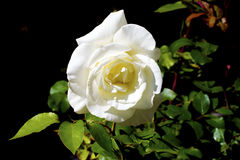 White rose. A close-up shot of a white rose Stock Photo