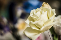 White rose close up Stock Images