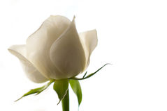 White Rose. Close-up shot of a white rose isolated on white background Royalty Free Stock Photography
