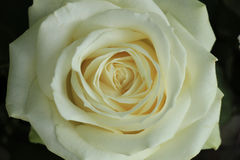 White rose close up Stock Photography