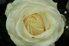 White rose close up Stock Photo