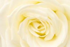 White Rose closed up shot Royalty Free Stock Photos