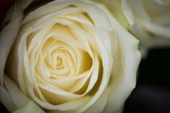 White rose closeup. Beautiful white rose closeup details stock photos