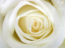 White rose closeup. Closeup shoot of white rose Royalty Free Stock Photos
