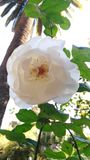 White rose. Closeup white rose Royalty Free Stock Photos