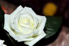 White rose closeup dark background Royalty Free Stock Photography