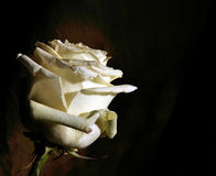 White rose on dark Stock Photos