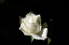 White rose on a dark background. White shining rose on a dark background Royalty Free Stock Photography