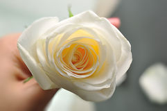 White rose on dark background Royalty Free Stock Photography