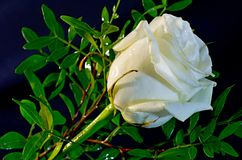 White rose. On a dark background Stock Image