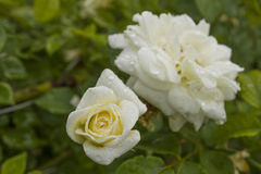 White Rose. With delicate droplets of morning dew Royalty Free Stock Photo