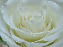 White rose. Detail stock image