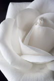 White Rose Detail Stock Image