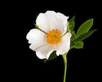 White rose detail over black background Royalty Free Stock Photos